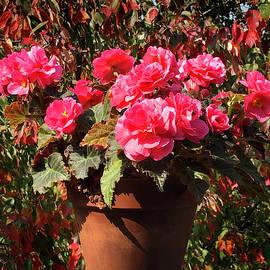 Fall Begonias by Steve Karol
