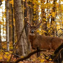 Fall Buck2 by Dwight Eddington