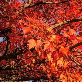 Fall Foliage by Judy Vincent