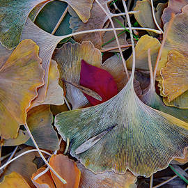 Fall Ginkgo Leaves by Robert Tubesing