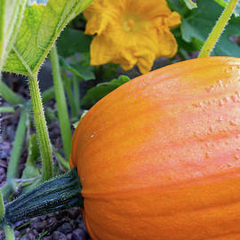 Fall harvest pumpkin by Birgitta Astrand