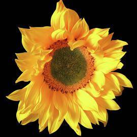 Fall In Love With Sunflowers by Johanna Hurmerinta