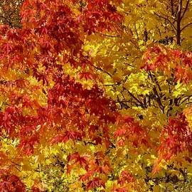 Fall red, yellow muple leaves swinging in a tree in Kirkenes by Tamara Sushko
