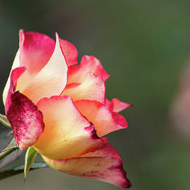 Fall Rose by Don Johnson