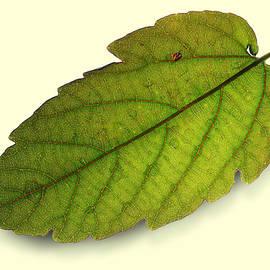 Fallen Leaf by Siene Browne