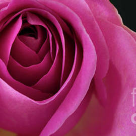 Falling Into An English Rose by Wendy Wilton