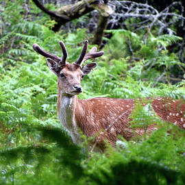 Fallow deer stag New Forest National Park Hampshire England by Loren Dowding