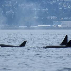 Family of Orca off Vancouver Island by Marta Kazmierska
