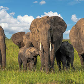 Family Ties - African Elephant by Eric Albright