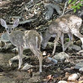 Fawns Drink from a Creek, Ramsey Canyon Preserve, AZ, USA by Derrick Neill