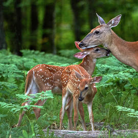Fawns with Mama by Paul Freidlund