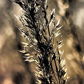 Feather Reed Grass bokeh by Tom Halseth
