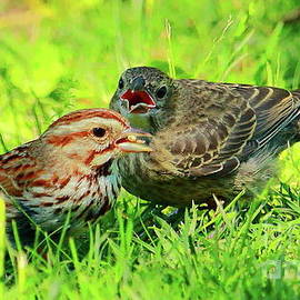 Feeding Cowbird  by Atiqur Rahman