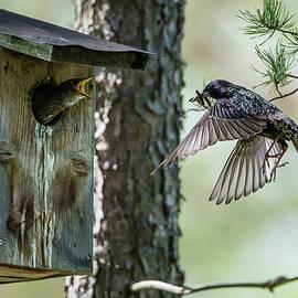 Feeding Flying Starling by Torbjorn Swenelius