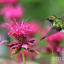 Feeding Hummingbird and Pink Bee Balm by Sandra Huston