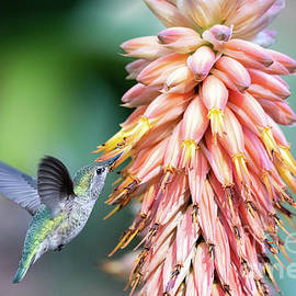 Female Anna's Hummingbird nectar feeding by Robert Goodell