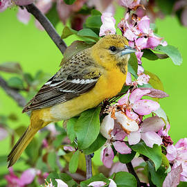 Female Baltimore Oriole In Crabapple Tree by Ricky L Jones