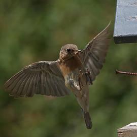 Female Bluebird by Douglas Stucky