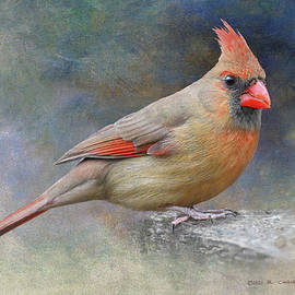 Female Cardinal Drops By by R christopher Vest