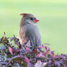 Female Cardinal on Burning Bush by Linda Goodman