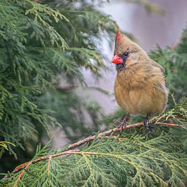 Female Cardinal Perch by Patti Deters