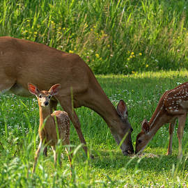 Female Deer and Twin Fawns by Sandra J's