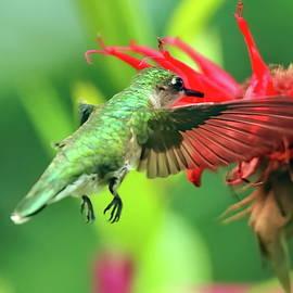 Female hummingbird and bee balm by Geraldine Scull