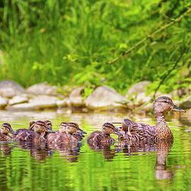 Female mallard duck, anas platyrhynchos, and ducklings by Elenarts - Elena Duvernay photo