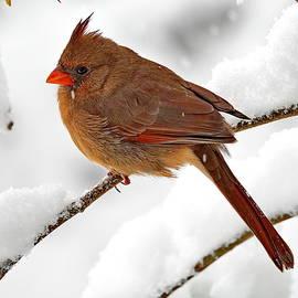 Female Northern Cardinal and Fresh Fluffy Snow by Lyuba Filatova