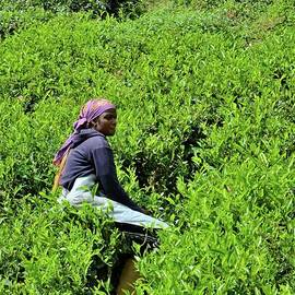 Female plantation laborer harvests tea in crop fields Cameron Highlands Malaysia by Imran Ahmed