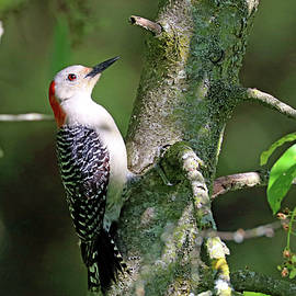 Female Red Bellied Woodpecker by Debbie Oppermann
