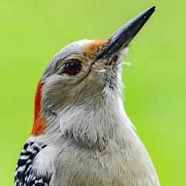 Female Red-bellied Woodpecker Portrait by Cindy Treger