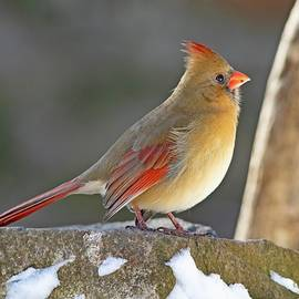 Female Red Northern Cardinal Winter by Marlin and Laura Hum