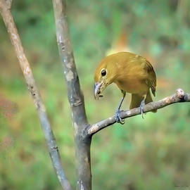 Female Summer Tanager With Yellow Jacket by Bellesouth Studio