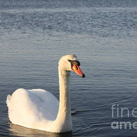 Female Swan Out For A Swim by Barbra Telfer