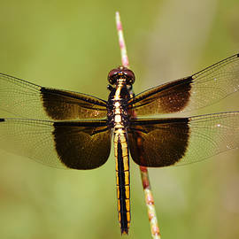 Female Widow Skimmer Dragonfly Close Up by Gaby Ethington