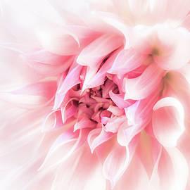 Dahlia Dreams by Nancy Carol Photography