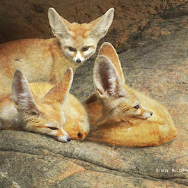 Fennec Foxes Resting by R christopher Vest