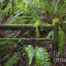Ferns And Fence by Mitch Shindelbower