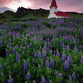 Field of Lupine Wildflowers Surrounding Church in Iceland at Sunset by Tom Schwabel