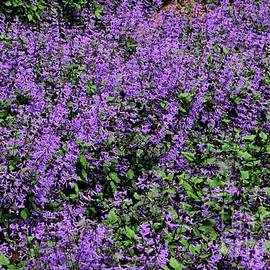 Field of purple lilac and green lavender flowers and buds Cameron Highlands Malaysia by Imran Ahmed