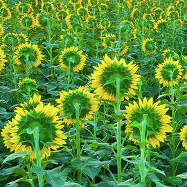 Field of Sunflowers by Richard Perry