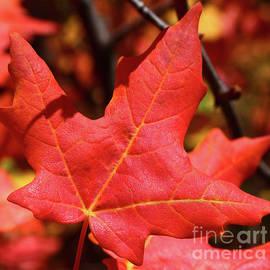 Fiery Fall Maple by Marty Fancy