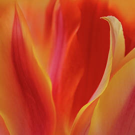 Fiery Tulips by Terry Davis