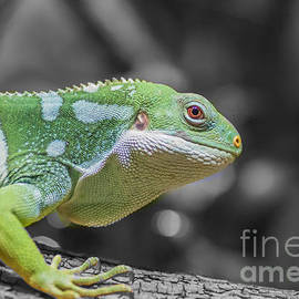 Fiji Banded Iguana by Eva Lechner