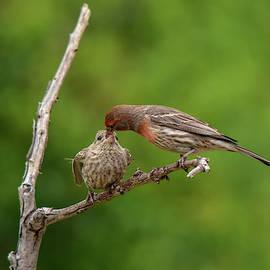 Finch Feeding Time 2  by Linda Brody