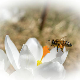 First Bee of Spring by Linda Howes
