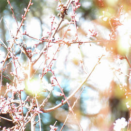 First Day of Spring - Almonds Flower Buds - Images From the Garden - Photography by Brooks Garten Hauschild
