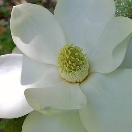 First Magnolia by Gayle Miller