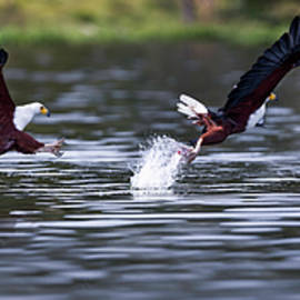 Fish eagle hunting sequence panorama by Murray Rudd